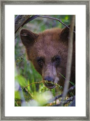 Young Black Bear Framed Print by Mitch Shindelbower
