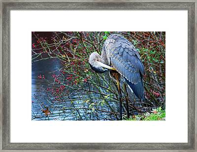 Young Blue Heron Preening Framed Print