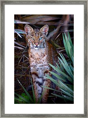Young Bobcat Framed Print