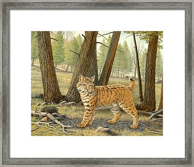 Young Bobcat    Framed Print