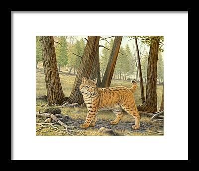 Bobcat Framed Prints