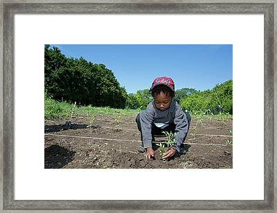 Young Boy Planting Tomatoes Framed Print by Jim West