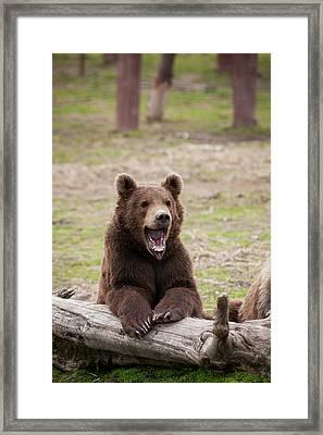 Young Brown Bear  Ursus Arctos Framed Print by Doug Lindstrand