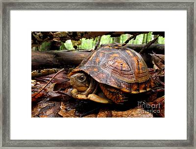 Young Brown Box Turtle Framed Print by Joshua Bales