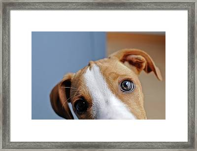 Young Brown Dog At Home Framed Print