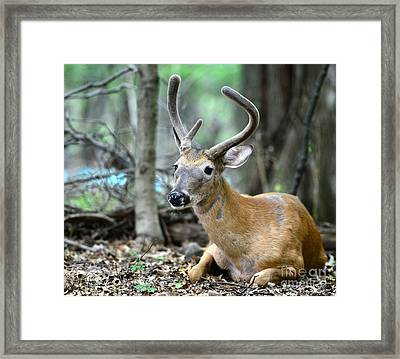 Young Buck At Rest Framed Print