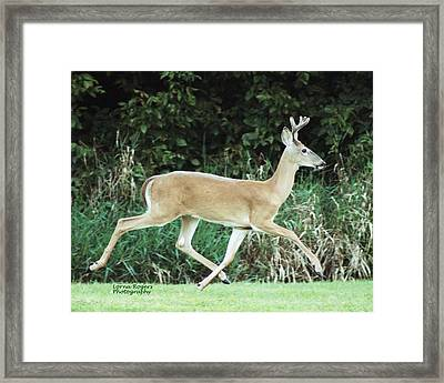 Young Buck Framed Print by Lorna Rogers Photography