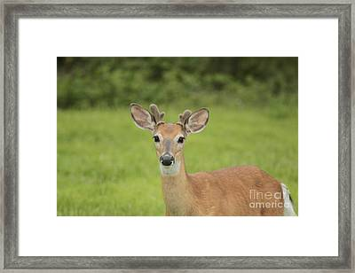 Young Buck With Velvety Antlers Framed Print by Jim Lepard