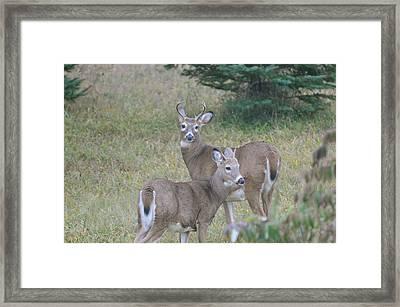 Young Bucks Framed Print by Sandra Updyke