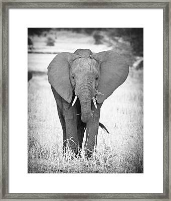 Young Bull Elephant Framed Print by Adam Romanowicz
