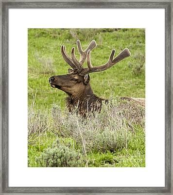 Young Bull Elk Framed Print by Bob Dowling