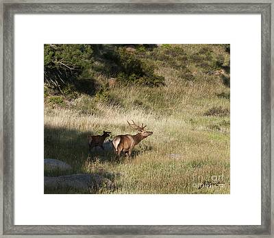 Young Bull Elk Framed Print
