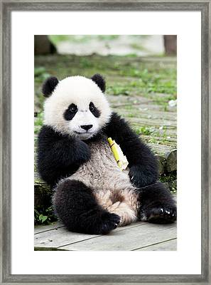 Young Captive Giant Panda Eating Bamboo Framed Print by Tony Camacho