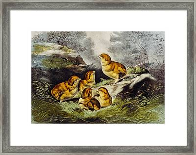 Young Chicks Circa 1856 Framed Print by Aged Pixel