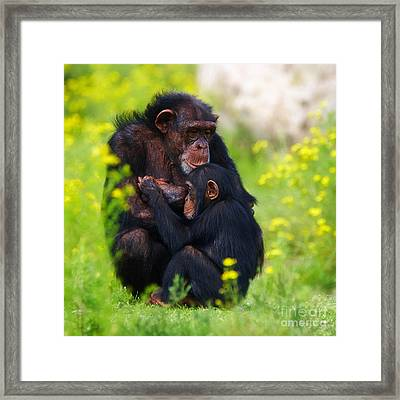 Young Chimpanzee With Adult - II Framed Print