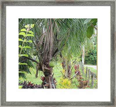 Young Coconut Tree Framed Print by Cyril Maza