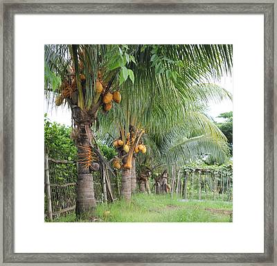 Young Coconut Trees Framed Print by Cyril Maza