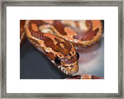 Young Corn Snake Framed Print by Nigel Downer