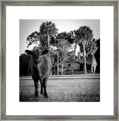 Young Cow Old Barn Framed Print by Christy Usilton
