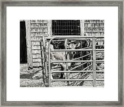 Young Cows In Pen Near Barn Maine Photograph Framed Print