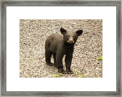 Young Cub Framed Print
