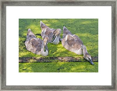 Young Cygnets Framed Print by Gordon Ripley