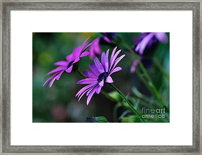 Young Daisies Framed Print by Kaye Menner