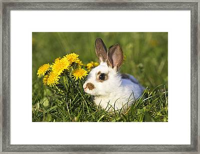 Young Domestic Rabbit Framed Print