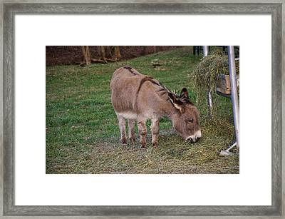 Young Donkey Eating Framed Print