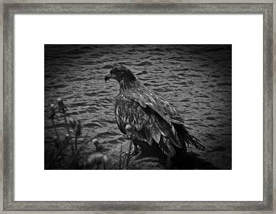 Framed Print featuring the photograph Young Eagle Bw by Timothy Latta