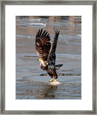 Framed Print featuring the photograph Young Eagle by John Freidenberg