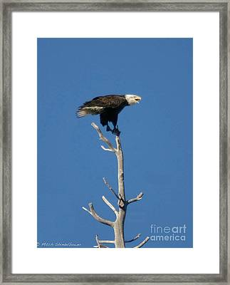 Framed Print featuring the photograph Young Eagle by Mitch Shindelbower