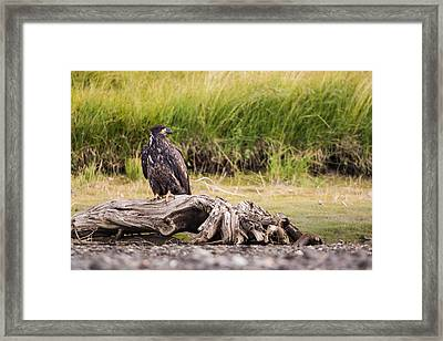 Young Eagle On A River Bed Framed Print