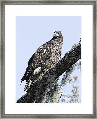 Young Eagle Pose Framed Print
