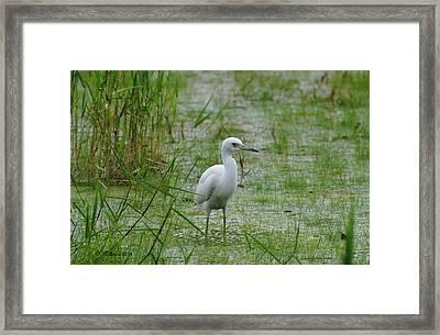 Juvenile Little Blue Heron At Willow Pond Framed Print
