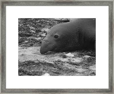 Young Elephant Seal Bull Framed Print