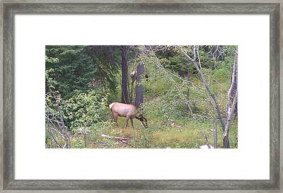 Framed Print featuring the photograph Young Elk Grazing by Fortunate Findings Shirley Dickerson