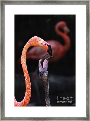 Young Flamingo Feeding Framed Print