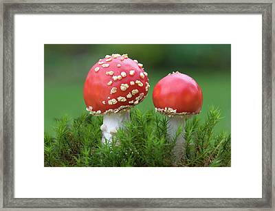 Young Fly Agaric Fungus Framed Print by Nigel Downer