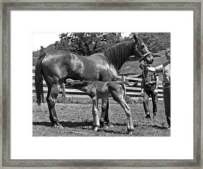 Young Foal Nursing Framed Print by Underwood Archives