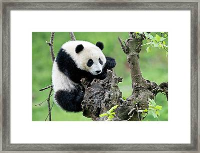 Young Giant Panda Framed Print by Tony Camacho