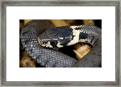Young Grass Snake Framed Print