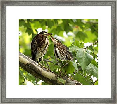 Framed Print featuring the photograph Young Green Herons by David Lester
