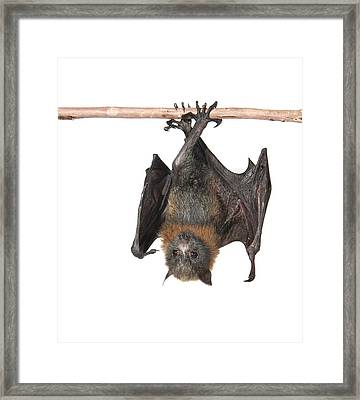 Young Grey-headed Flying Fox Framed Print by Science Photo Library