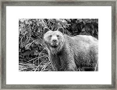 Young Grizzly Bear In The Alaskan Grass Black And White Framed Print by Darcy Michaelchuk