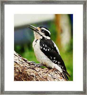 Framed Print featuring the photograph Young Hairy Woodpecker by VLee Watson
