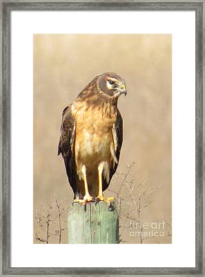 Young Harrier Framed Print by Frank Townsley