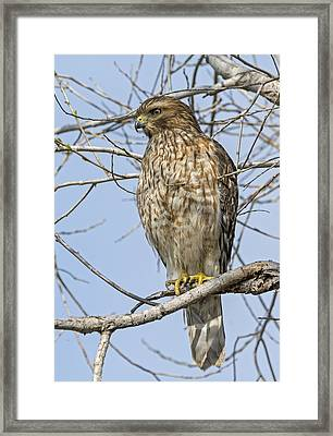 Young Hawk Framed Print by Loree Johnson