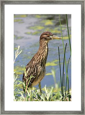 Young Heron Framed Print
