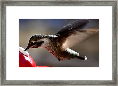 Framed Print featuring the photograph Young Hummingbird Male Anna by Jay Milo